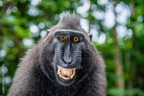 Celebes crested macaque with open mouth. Close up portrait on the green natural background. Crested black macaque, Sulawesi crested macaque, or black ape. Natural habitat. Sulawesi Island. Indonesia