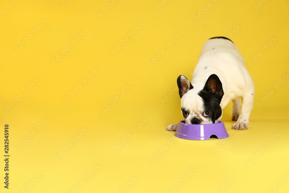 Fototapety, obrazy: French bulldog eating food from bowl on yellow background. Space for text
