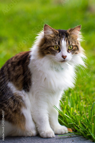 Portrait of Adorable Maine Coon Cat in the Garden. Cute domestic cat, frontal view.