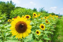 ひまわり畑 向日葵 ...