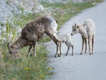 Bighorn Lamb, Newborn