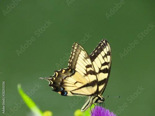 butterfly on a Tassel Flower