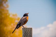 A Robin Sitting On A Wooden Post