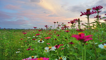 Beautiful Colorful Zinnia Flowers In The Garden. Field Of Flowers And Blue Sky. Field Of Wild Flowers.
