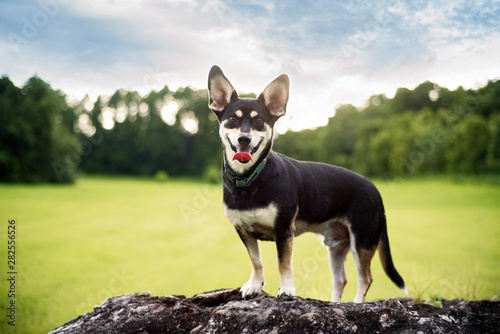 Mixed-breed between Siberian Husky in a beautiful field during sunset Wallpaper Mural