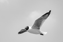 The Black-headed Gull Is A Small Gull That Breeds In Much Of Europe And Asia, And Also In Coastal Eastern Canada. Most Of The Population Is Migratory And Winters Further South