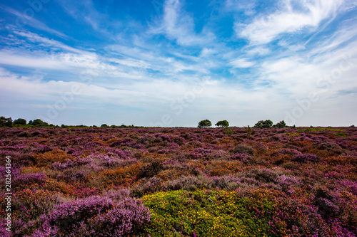 The Purple Heather on Dunwich Heath Suffolk UK Canvas Print