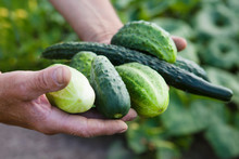 Hands Of The Farmer Hold Cucumbers  At Farm Greenhouse. ECO Product.