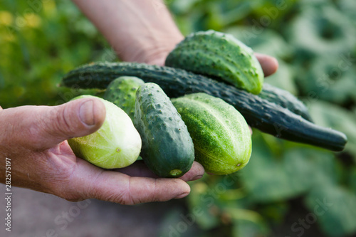 Valokuva hands of the farmer hold cucumbers  at farm greenhouse