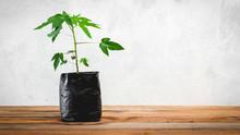 Close Up Papaya Seedlings Plant With Soil