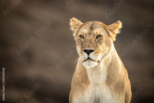 Fototapeta Close-up of sitting lioness with scarred face