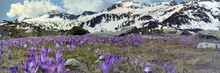 Crocuses In The Mountains In Spring. Pirin National Park, Bansko, Bulgaria