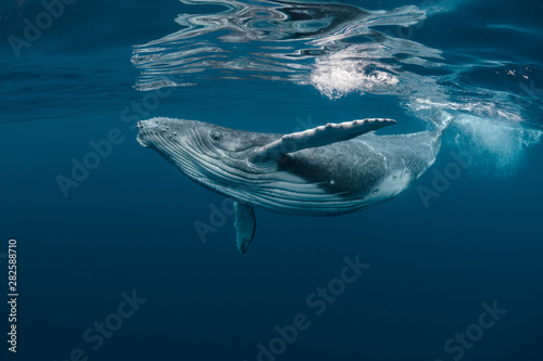 Photo A Baby Humpback Whale Plays Near the Surface in Blue Water