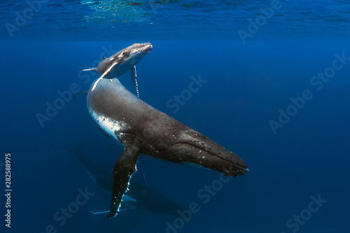 Fotografía  A Mother Calf and Escort Swim By In Blue Water