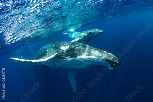 Fotografía  Humpback Whale Mother and Calf in Blue Water