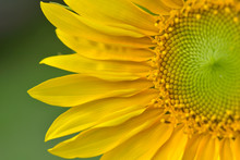 Close On Beautiful Head Of Sunflower Blooming On Green Background