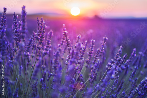 Papiers peints Prune Lavender flowers at sunset in Provence, France. Macro image, shallow depth of field