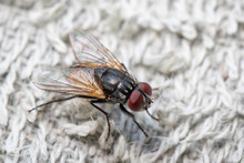 Image Of A Flies (Diptera) On A White Cloth. Insect. Animal