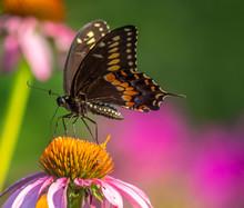 Black Swallowtail Butterfly In...