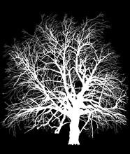 White Bare Isolated Large Oak Tree