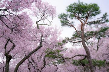 Panel Szklany Drzewa cherry tree and pine tree