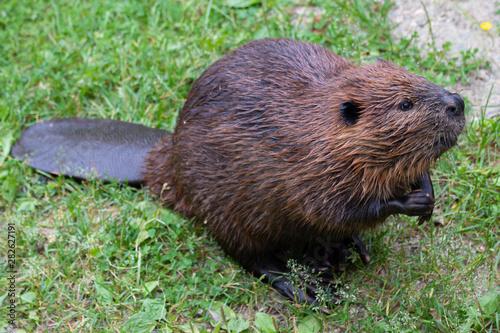 The beaver (genus Castor) Canvas Print