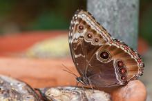 Blue Morpho Butterfly ( Morpho...