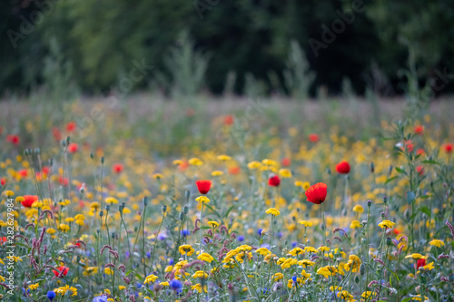 Spoed Fotobehang Weide, Moeras Colourful wild flowers including poppies, photographed during summer 2019 in Gunnersbury Park, West London UK.