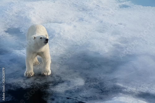 Photo  Polar bear on an ice floe. Arctic predator