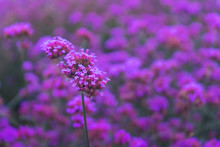 Beautiful Verbena Bonariensis ...