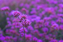 Beautiful Verbena Bonariensis ...