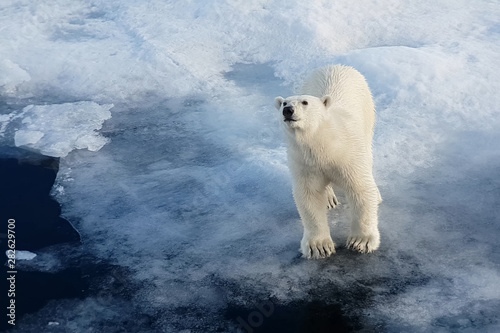 Photo sur Aluminium Ours Blanc Polar bear on an ice floe. Arctic predator