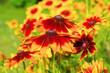 canvas print picture - Sonnenhut, gelbe Blüten im Sommergarten - black-eyed Susan flower in garden