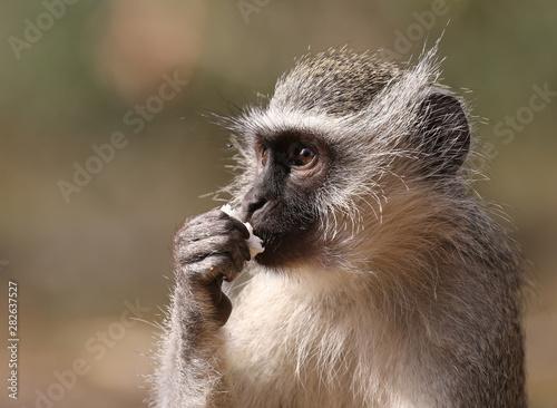 wild velvet monkey in Kruger National Park, South Africa. Canvas Print
