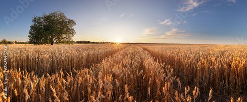 Foto auf AluDibond Kultur Wheat field. Ears of golden wheat close up. Beautiful Rural Scenery under Shining Sunlight and blue sky. Background of ripening ears of meadow wheat field.