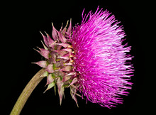 Flower Of The Musk Thistle Or ...