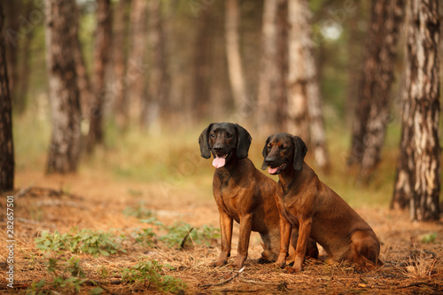 Poster Chasse two hunting dogs breed Bavarian mountain hound hunting in the woods