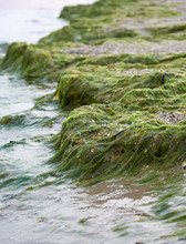 Sandy Seashore With Green Algae After A Storm,