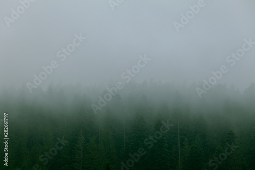 Coniferous forest in morning fog (mist), breathing mountains Canvas Print