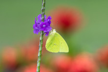 A Cloudless Sulphur Butterfly Feeding On A Single Purple Vervain Flower.