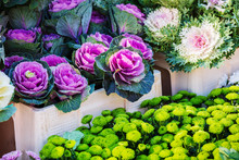Colorful Ornamental Cabbages