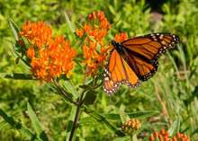 Monarch Butterfly With Open Wi...