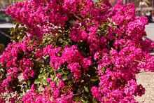 Pink Crepe Myrtle - Lagerstroe...