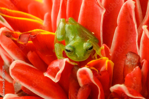 Tuinposter Kikker Ghost Glass Frog. Found in Costa Rica panama south america.