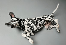 Studio Shot Of An Adorable Dalmatian Dog Lying And Looking Frightened