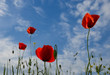 canvas print picture - Wild flowers, red poppies and blue sky background in sunny day, springtime.