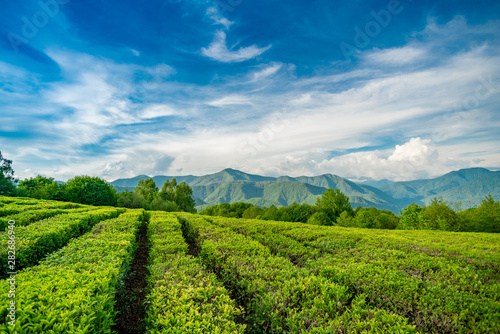 Obraz Tea plantation in the mountains of Sochi - fototapety do salonu
