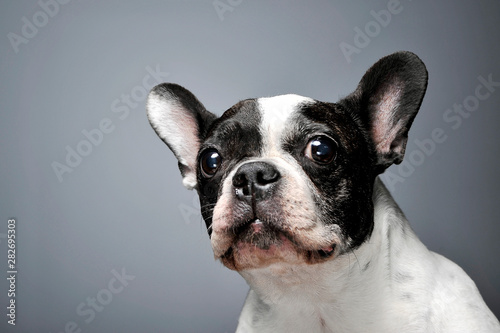 Studio shot of a lovely french bulldog