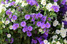 Blühender Enzianstrauch