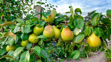 Beautiful Ripe Pears On A Green Branch, Summer And Natural Fruits.